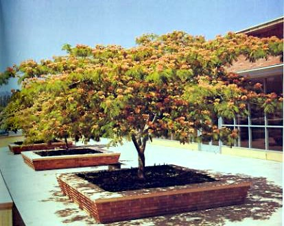 how to grow mimosa trees albizia julibrissin. Black Bedroom Furniture Sets. Home Design Ideas